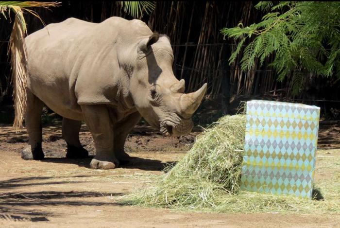 Ζώα σε ζωολογικό κήπο ανοίγουν τα χριστουγεννιάτικα δώρα τους - εικόνα 2