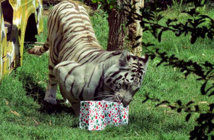 Ζώα σε ζωολογικό κήπο ανοίγουν τα χριστουγεννιάτικα δώρα τους - εικόνα 3