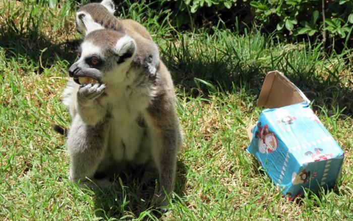 Ζώα σε ζωολογικό κήπο ανοίγουν τα χριστουγεννιάτικα δώρα τους - εικόνα 5