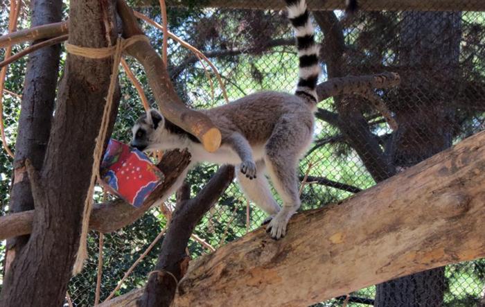 Ζώα σε ζωολογικό κήπο ανοίγουν τα χριστουγεννιάτικα δώρα τους - εικόνα 8