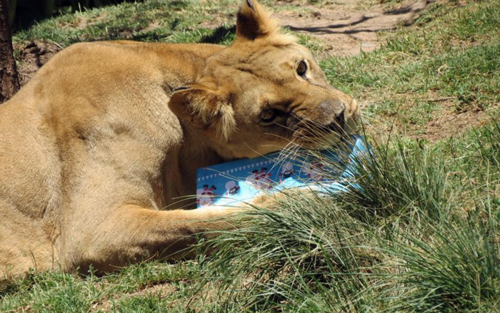 Ζώα σε ζωολογικό κήπο ανοίγουν τα χριστουγεννιάτικα δώρα τους - εικόνα 9