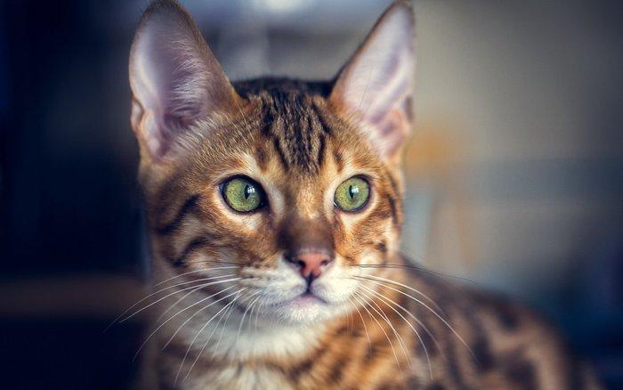 Η αλήθεια ανατρέπει την επιστήμη για τις γάτες; - εικόνα 2