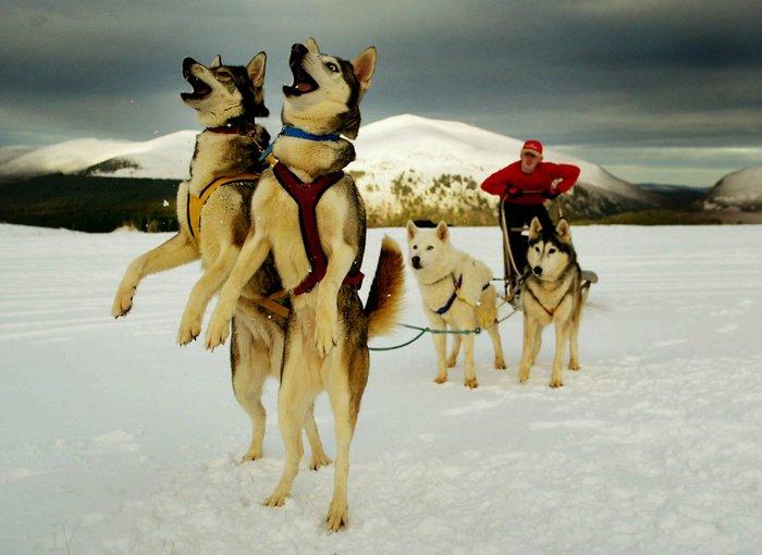 Σκυλιά huskie παίζουν με το χιόνι στη Σκωτία
