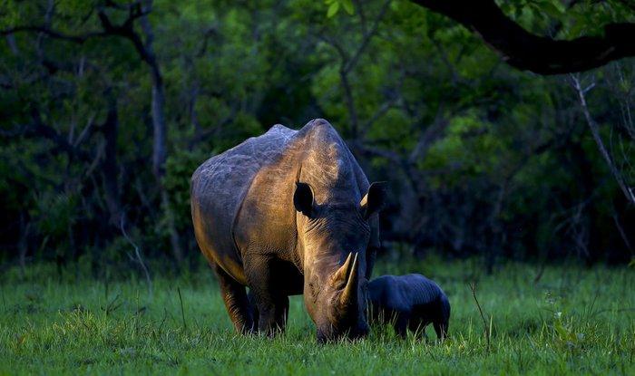 Λευκός ρινόκερως βόσκει μαζί με το νεογέννητο μωρό του