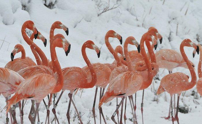 Φλαμίγκο σε χιονισμένο ζωολογικό κήπο της Κίνας