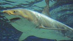 Λευκός καρχαρίας πέθανε γιατί δεν άντεξε την αιχμαλωσία