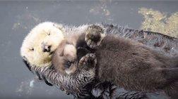 Νυσταγμένο «μωρό» αποκοιμιέται στην αφράτη αγκαλιά της μαμάς του!