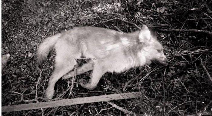 Χίος: Πυροβόλησαν τον Bear σε καταφύγιο ζώων