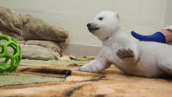Αξιολάτρευτο νεογέννητο πολικό αρκουδάκι κάνει τα πρώτα του βήματα (βίντεο)