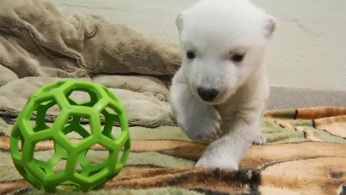 Αξιολάτρευτο νεογέννητο πολικό αρκουδάκι κάνει τα πρώτα του βήματα (βίντεο) - εικόνα 2