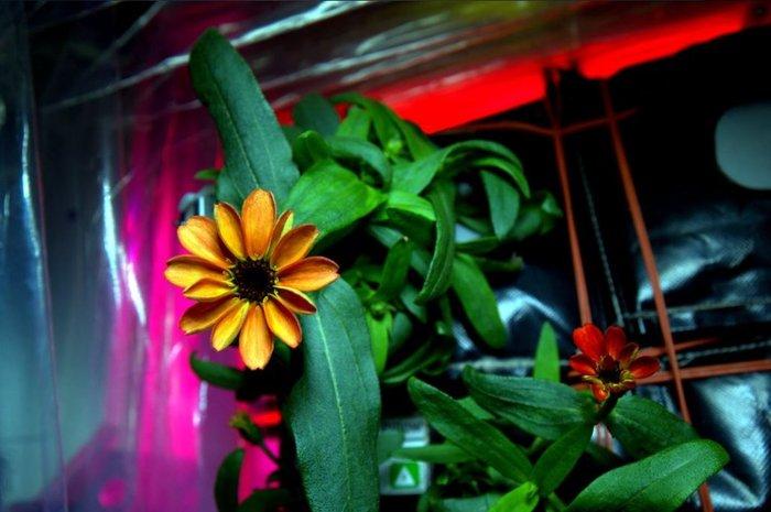 Αυτό είναι το πρώτο λουλούδι που άνθισε στο διάστημα