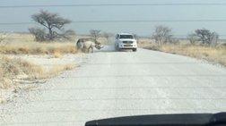 Η τρομακτική στιγμή που ρινόκερος επιτίθεται σε τζιπ