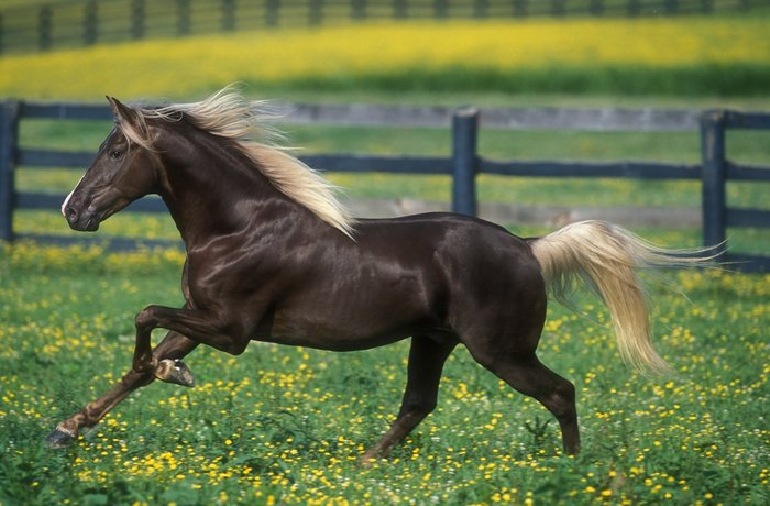 pinterestThe Rocky MountainHorse