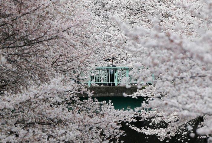 Ένας άνδρας κοιτάζει τα άνθη της κερασιάς στο Τόκιο, Ιαπωνία, 1η Απριλίου