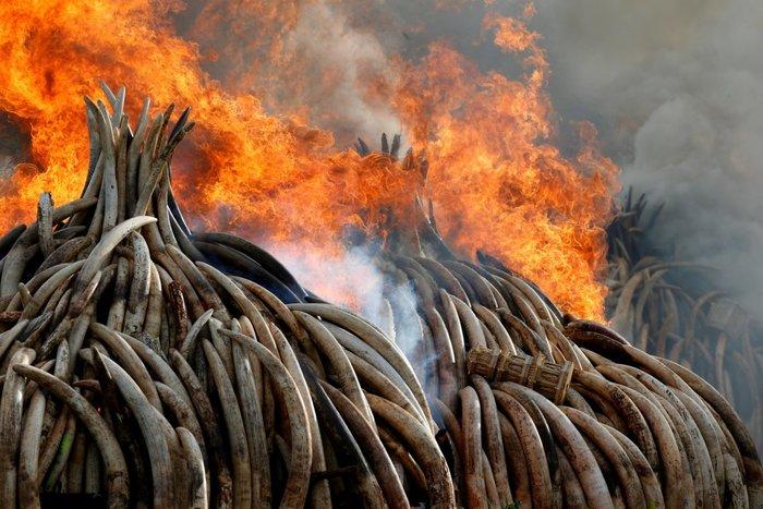 Η φωτιά καίει περίπου 105 τόνους ελεφαντόδοντου και έναν τόνο κεράτων ρινόκερου που κατασχέθηκαν από λαθρεμπόρους και λαθροκυνηγούς στο Εθνικό Πάρκο του Ναϊρόμπι, στην Κένυα, 30 Απριλίου