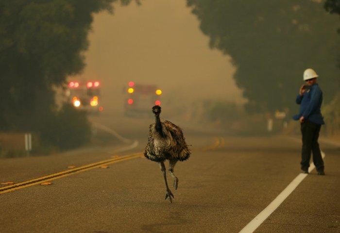 Ενα εμού τρέχει να ξεφύγει από πυρκαγιά που πλησιάζει, στην Καλιφόρνια, 20 Ιουνίου