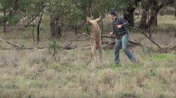 Εγινε viral: Αυστραλός δίνει μπουνιά σε καγκουρό για να σώσει το σκυλί του