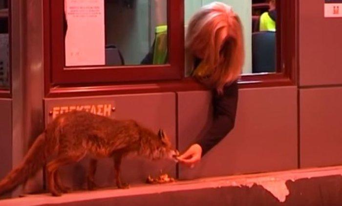 Απίστευτο και όμως αληθινό: Ταΐζουν αλεπού στα διόδια Ακτίου