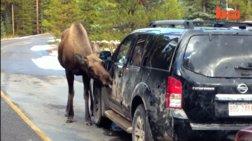 Οι Καναδοί προειδοποιούν για περίεργο ζώο που γλείφει αυτοκίνητα