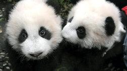 oi-100-prwtes-meres-tis-zwis-duo-aksiolatreutwn-panda-se-ena-binteo-2-leptwn