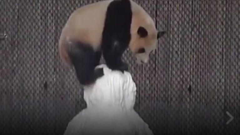 ena-panda-paizei-me-enan-xionanthrwpo-se-ena-apisteuta-xaritwmeno-binteo