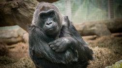 pethane-i-kolo-o-giraioteros-gorilas-tou-kosmou