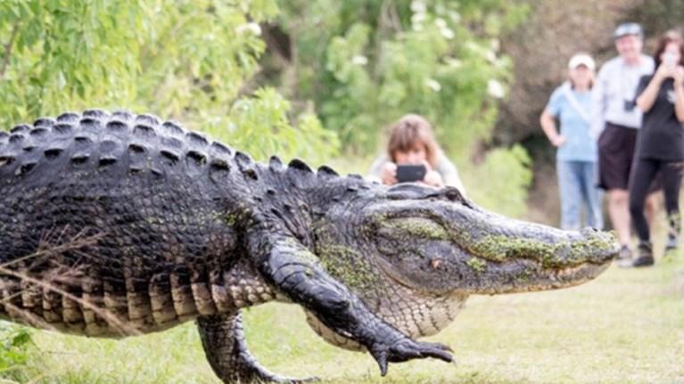 terastios-aligatoras-bgike-na-parei-aera-sto-parko
