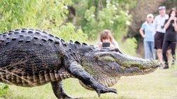 """Τεράστιος αλιγάτορας βγήκε να """"πάρει αέρα"""" στο πάρκο"""