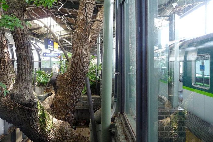 Οζάκα: Ένας σταθμός τρένου γύρω από ένα δέντρο 700 ετών