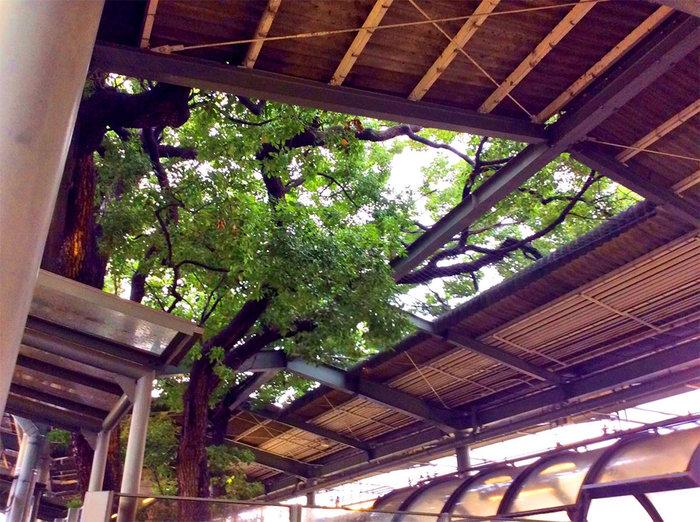 Οζάκα: Ένας σταθμός τρένου γύρω από ένα δέντρο 700 ετών - εικόνα 3