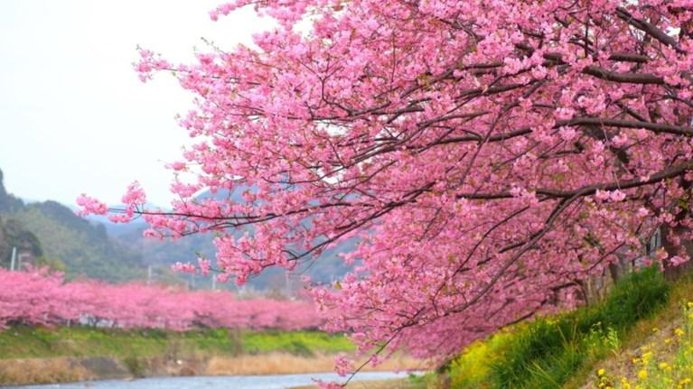 Οι κερασιές άνθισαν πρόωρα στην Ιαπωνία, η Ανοιξη έρχεται...