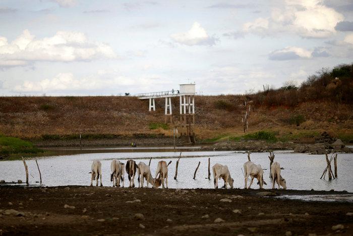 Ζώα πίνουν νερό από τον -μισοάδειο- ταμιευτήρα Ποκόες, στην πολιτεία της Παράιμπα
