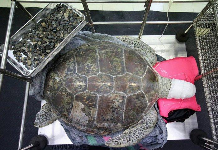 Ταϊλάνδη: 915 νομίσματα βρέθηκαν στο στομάχι μιας θαλάσσιας χελώνας