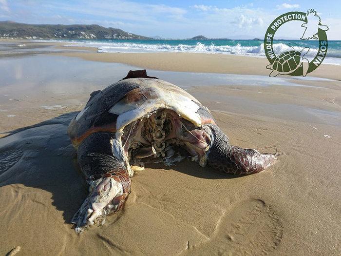 Θηριωδία στη Νάξο: Αποκεφάλισαν 10 θαλάσσιες χελώνες - εικόνα 2