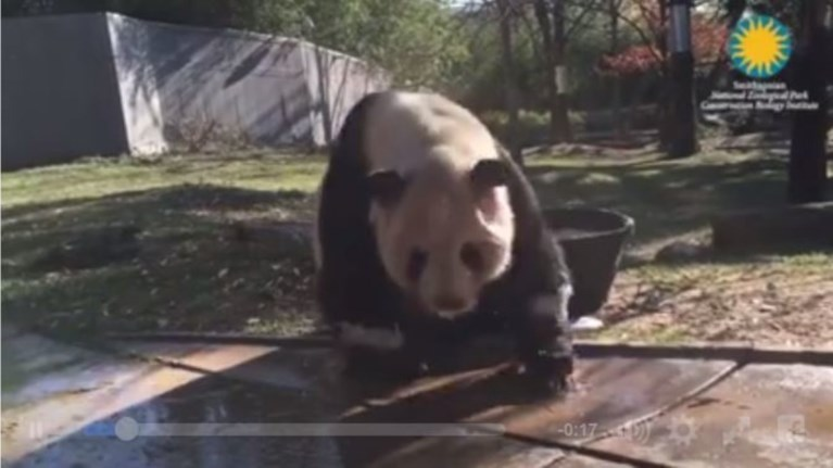 ena-aksiolatreuto-panda-kanei-to-prwino-tou-mpanio-akribws-opws-ki-eseis