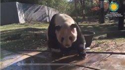 Ενα αξιολάτρευτο panda κάνει το πρωινό του μπάνιο, ακριβώς όπως κι εσείς