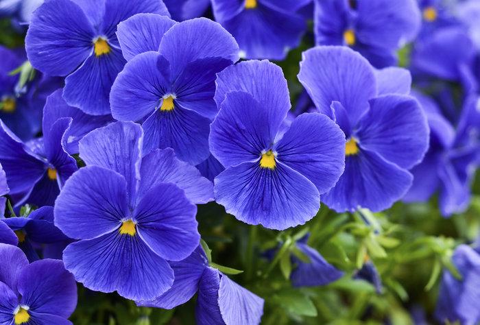 Μάθετε τους συμβολισμούς των λουλουδιών πριν τα χαρίσετε - εικόνα 4