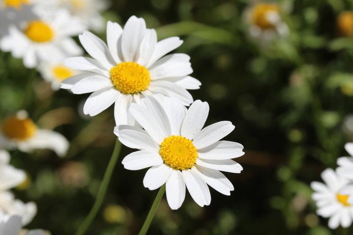 Μάθετε τους συμβολισμούς των λουλουδιών πριν τα χαρίσετε - εικόνα 5
