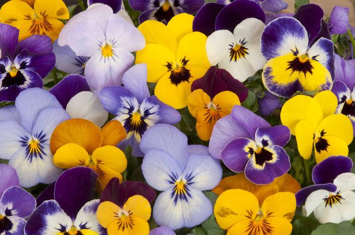 Μάθετε τους συμβολισμούς των λουλουδιών πριν τα χαρίσετε - εικόνα 7