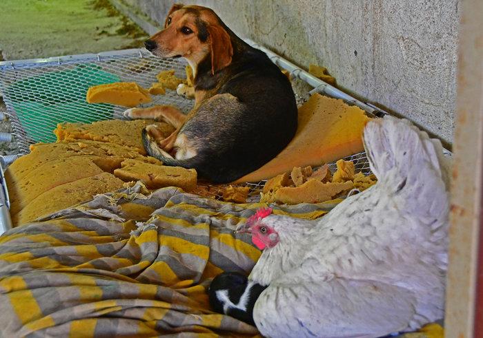 Κότα «υιοθέτησε» νεογέννητο κουταβάκι στο Ναύπλιο - εικόνα 2