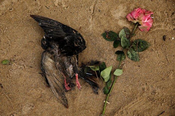 Ενα νεκρό περιστέρι