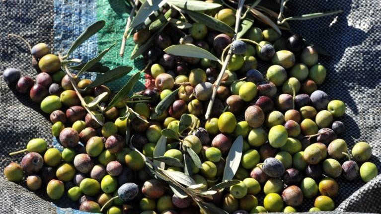 Ρεπορτάζ των FT για τη λειψή παραγωγή ελαιολάδου στην Ελλάδα