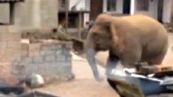 Μία βόλτα στο χωριό από έναν αρσενικό ελέφαντα