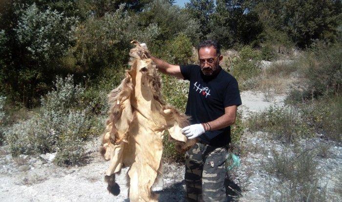 Καταγγελία Αρκτούρου: Σκότωσαν αρκούδα για το δέρμα της (ΦΩΤΟ)