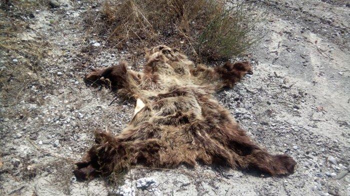 Καταγγελία Αρκτούρου: Σκότωσαν αρκούδα για το δέρμα της (ΦΩΤΟ) - εικόνα 2