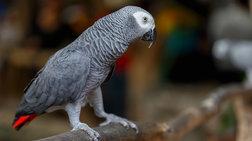 ena-paneksupnos-papagalos-eksixniazei-mia-mustiriwdi-dolofonia