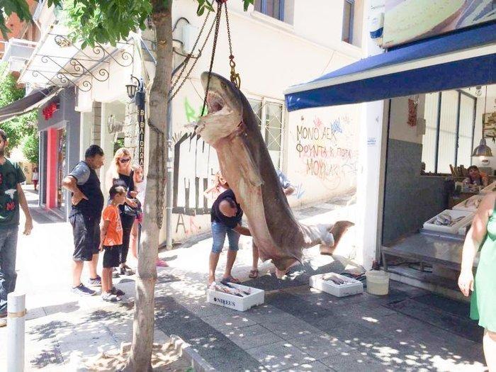 Απίστευτο: Έπιασαν καρχαρία 300 κιλών στην Κεφαλονιά - εικόνα 3