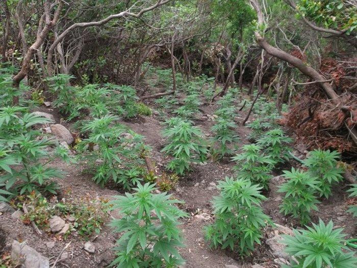 Εντοπίστηκε φυτεία με 1.500 δενδρύλλια κάνναβης στο Ρέθυμνο (ΦΩΤΟ)