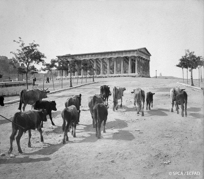 Κοπάδι ζώων μπροστά από τον ναό του Ηφαίστου