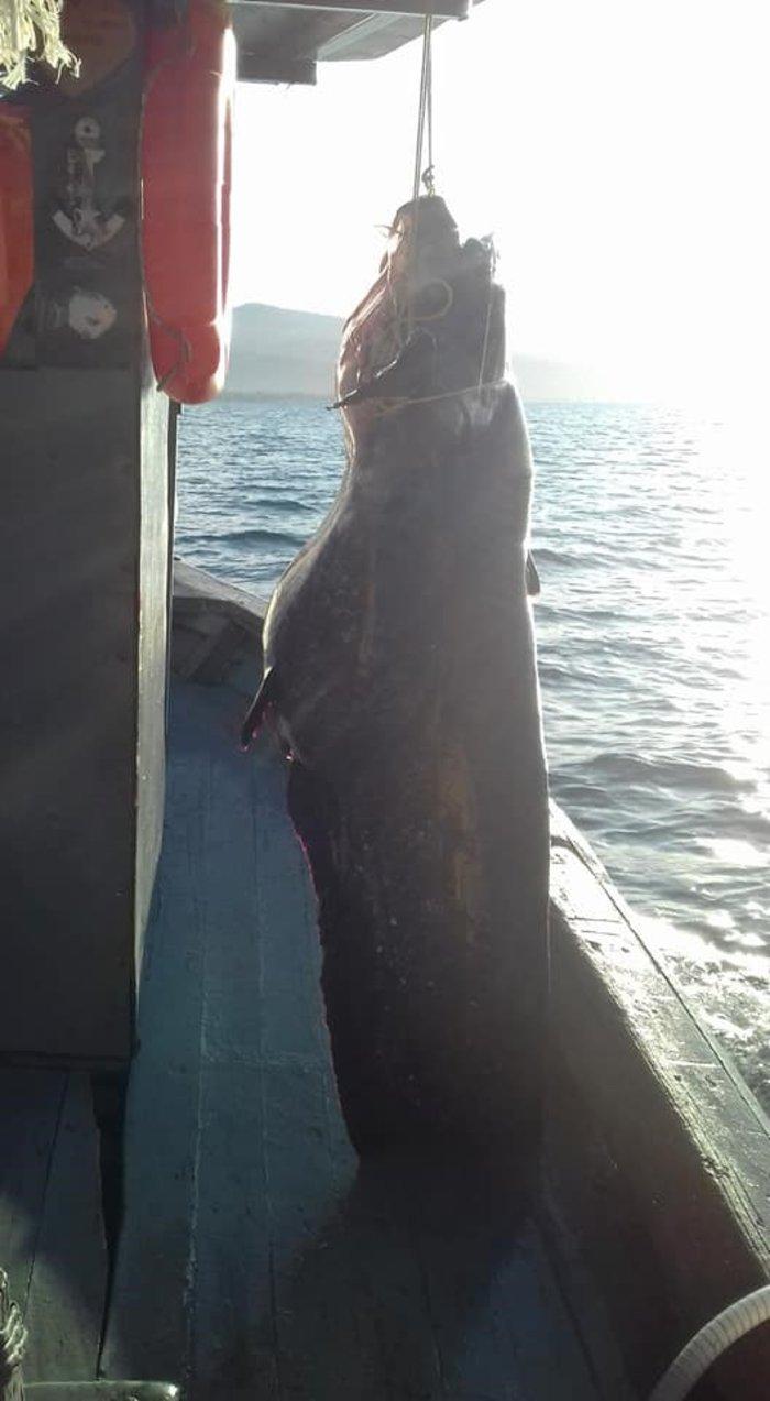 Στα δίχτυα του ψαρά γουλιανός βάρους 85 κιλών! (ΦΩΤΟ)